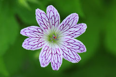 Geranium versicolor flower Royalty Free Stock Photography