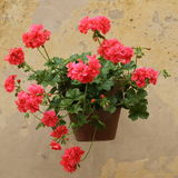 Geranium on wall. Geranium in flowerpot hanging on wall in Tuscany stock photos