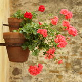 Geranium on wall Stock Images