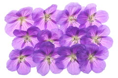 Geranium wall Royalty Free Stock Photography