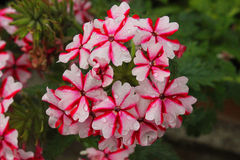 Geranium wet in the garden. A geranium in the garden Royalty Free Stock Photo
