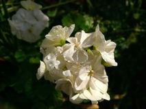 Geranium white flower Royalty Free Stock Images
