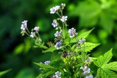 Geranium. Wild flower. Stock Image