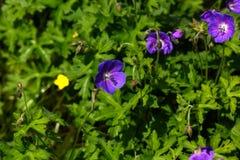 Geranium. Wild flower. Royalty Free Stock Photo