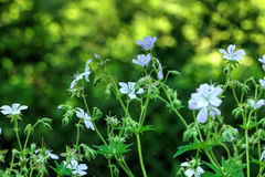 Geranium. Wild flower. Royalty Free Stock Photography