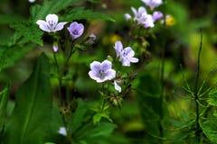 Geranium. Wild flower. Stock Photos