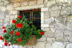 The geranium on the window royalty free stock photos