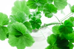 Geranium. Stock Photos