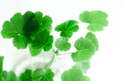 Geranium. Young sprouts of a geranium on a white background stock photos