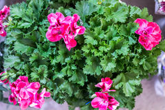Geranium zonal americana violet. Flower in a flowerpot. Indoor flower Royalty Free Stock Photography