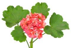 Geraniumbloem Stock Afbeeldingen