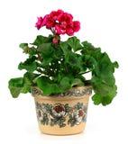 Geraniumbloem Royalty-vrije Stock Afbeelding