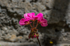 Geraniumbloem Royalty-vrije Stock Afbeeldingen