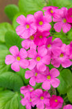 Geraniumbloemen Royalty-vrije Stock Foto's