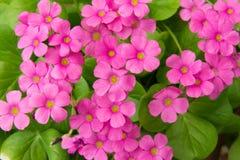 Geraniumbloemen Royalty-vrije Stock Afbeeldingen