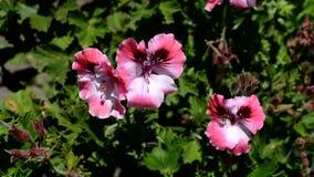 Geraniumbloemen in de wind stock footage