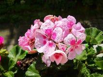 Geraniumbloemen met Regendruppels Stock Fotografie