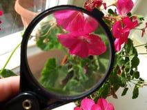 geraniumbloemen onder een vergrootglas Stock Afbeelding
