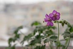 Geraniummacrorrhizum Royalty-vrije Stock Fotografie