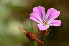Geraniumroberianum stock foto