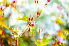 Geraniumrobertianum die in de lentetuin tot bloei komen stock afbeelding