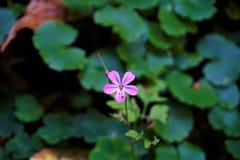 Geraniumrobertianum in het Odenwald-bos dichtbij Zwingenberg wordt bevlekt die stock foto