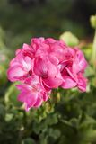 Geraniums Royalty Free Stock Photo