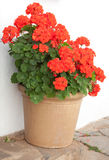 Geraniums Royalty Free Stock Photos