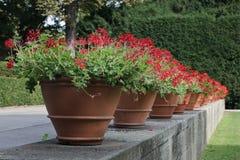 Geraniums Stock Foto's