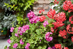 Geraniums Royalty-vrije Stock Foto