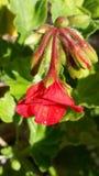 geraniums Fotografia de Stock Royalty Free