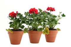 Geraniums Stock Image