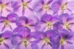 geraniums Imagens de Stock Royalty Free