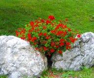 Geraniums_ Baden-Baden, Germany Royalty Free Stock Image