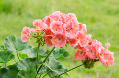 Geraniums Royalty Free Stock Photography