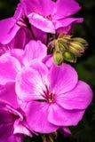 Geraniums Stock Images