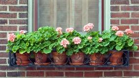 Geraniums in de Doos van het Venster van het Smeedijzer Stock Afbeeldingen