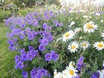 Geraniums en Oxyde Daisy Royalty-vrije Stock Foto