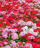 Geraniums floral background Stock Images