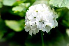 Geraniums flower in the garden stock photo