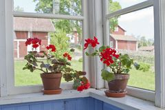 Geraniums flowers Royalty Free Stock Photos