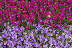 Geraniums flowers carpet background scarlet & lila Royalty Free Stock Photography