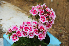 Geraniums flowing Royalty Free Stock Photo