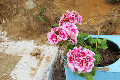 Geraniums flowing Royalty Free Stock Image