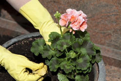 Geraniums in grave peel plant Royalty Free Stock Image
