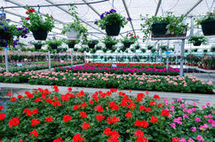 Geraniums in a greenhouse Stock Photos