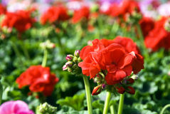 Geraniums in greenhouse. Rows of colored flowers (geraniums) for sale in a greenhouse Royalty Free Stock Images