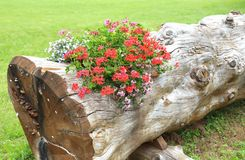 Geraniums inside the large trunk of tree used as a flower pot in Royalty Free Stock Photo