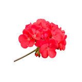 Geraniums Stock Images