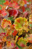 Geraniums, leaves. Colorful leaves of geraniums flower Stock Photos